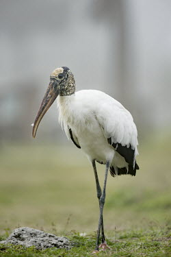 A large black and white coloured wood stork stands in some green grass on a foggy morning stork,bird,birds,wood stork,fog,foggy,grass,grey,green,legs,long legs,overcast,soft light,standing,white,Wood stork,Mycteria americana,Chordates,Chordata,Aves,Birds,Storks,Ciconiidae,Ciconiiformes,Her