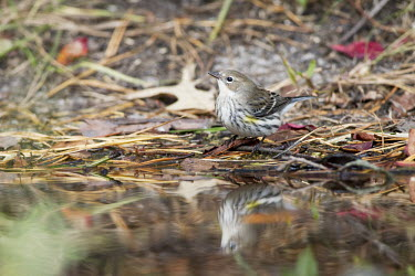 A yellow-rumped warbler stands in front of a small pool of water on the ground covered in pine needles warbler,Yellow warbler,bird,birds,Animalia,Chordata,Aves,Passeriformes,Parulidae,Setophaga coronata,brown,green,ground,leaves,pine needles,reflection,soft light,water,white,Yellow-rumped warbler,Anima