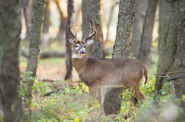 A whitetail deer stands tall in the forest early in the morning antlers,brown,buck,deer,fall,autumn,fur,male,rut,white,whitetail deer,White-tailed deer,Odocoileus virginianus,Mammalia,Mammals,Even-toed Ungulates,Artiodactyla,Cervidae,Deer,Chordates,Chordata,Toy de