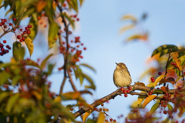A yellow-rumped warbler perches on a branch of a tree covered in red berries with a blue sky background blue,warbler,Yellow warbler,bird,birds,Animalia,Chordata,Aves,Passeriformes,Parulidae,Setophaga coronata,berries,brown,colourful,grey,green,morning,orange,perched,red,tree,white,Yellow-rumped warbler,