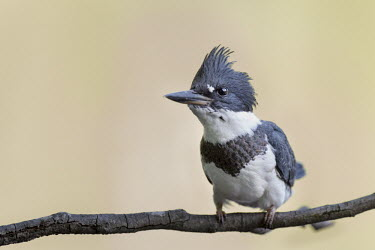 A juvenile belted kingfisher perched on a branch in soft light with a smooth background Belted kingfisher,kingfisher,bird,birds,bright,close,detail,eye,feathers,feet,head,perched,smooth background,stick,sticks,white,Megaceryle alcyon,Chordates,Chordata,Aves,Birds,Coraciiformes,Rollers Ki