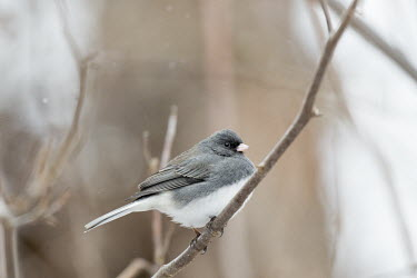 A dark-eyed Junco perches on a branch during a light snowfall junco,birds,bird,brown,grey,overcast,perched,snow,snowfall,autumn,soft light,white,winter,Dark-eyed junco,Junco hyemalis,Chordates,Chordata,Perching Birds,Passeriformes,Aves,Birds,Emberizidae,Emberizi
