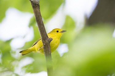 A small yellow warbler perches on a branch surrounded by green leaves American Yellow Warbler,Golden Warbler,Yellow Warbler,bird,birds,Animalia,Chordata,Aves,Passeriformes,Parulidae,Setophaga petechia,Warbler,brown,cute,green,leaves,perched,small,soft light,BIRDS,Branch