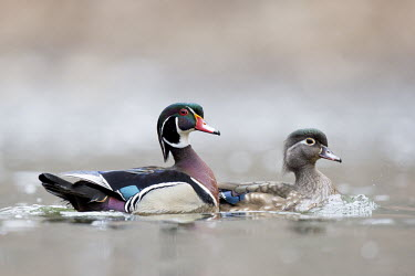 A pair of colourful wood ducks swim along on an overcast day Waterfowl,Wood Duck,brown,duck,female,green,male,orange,overcast,pair,purple,red,rust,swimming,water,water level,white,Wood duck,Aix sponsa,Chordates,Chordata,Aves,Birds,Anseriformes,Ducks, Geese, Swa