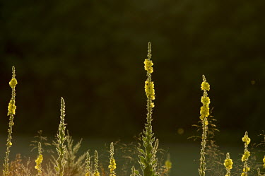 A group of bright yellow flower stalks stand tall against a dark background in the early morning sun Mullein,backlight,beautiful,flower,flowers,glow,green,morning,pretty,scene,scenic,sunlight,sunny,verbascum densiflorum,Dense-flowered mullein,Plantae,Lamiales,Scrophulariaceae,Verbascum,plant,plants,f