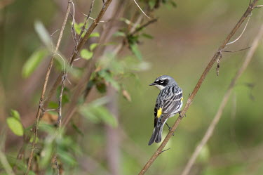 A male yellow-rumped warbler shows off its striking spring plumage warbler,Yellow warbler,bird,birds,Animalia,Chordata,Aves,Passeriformes,Parulidae,Setophaga coronata,cute,grey,green,leaves,mask,perched,soft light,spring,twigs,white,Yellow-rumped warbler,BIRDS,Branch