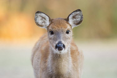 A yearling whitetail deer fawn looks right into the camera lens in the soft morning light baby,close,deer,doe,ears,eyes,female,fluffy,morning,soft light,staring,white,whitetail deer,White-tailed deer,Odocoileus virginianus,Mammalia,Mammals,Even-toed Ungulates,Artiodactyla,Cervidae,Deer,Cho