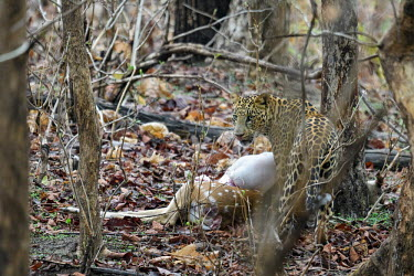 Leopard feeding on kill cat,cats,feline,felidae,predator,carnivore,big cat,big cats,vertebrate,mammal,mammals,pattern,patterned,eyes,forest,spotted deer,deer,prey,kill,feeding,eating,hunt,hunter,chital,axis axis,Leopard,Pant