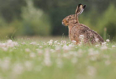 A brown hare in a clover field hare,brown hare,lepus europaeus,animal,mammal,rodent,nature,nature photography,wildlife,wildlife photography,clover,clover field,wild flowers,field,shallow focus,ears,spring,Brown hare,Lepus europaeus