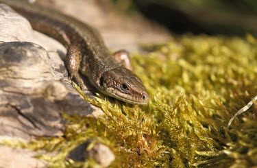 Viviparous lizard basking by moss lizard,lizards,reptile,reptiles,scales,scaly,reptilia,terrestrial,cold blooded,viviparous lizard,common lizard,zootoca vivipara,Viviparous lizard,Zootoca vivipara,Chordates,Chordata,Squamata,Lizards a