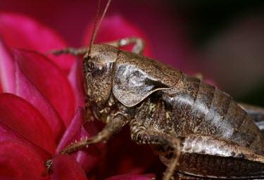 Dark bush-cricket macro,nature,insect,pholidoptera griseoaptera,dark bush cricket,insects,invertebrate,invertebrates,Animalia,Arthropoda,Insecta,Orthoptera,cricket,crickets,Dark bush-cricket,Pholidoptera griseoaptera,D