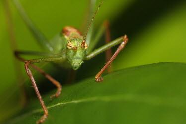 Speckled bush-cricket insect,insects,invertebrate,invertebrates,Animalia,Arthropoda,Insecta,Orthoptera,cricket,crickets,macro,Speckled Bush-cricket,Leptophyes punctatissima,Speckled bush-cricket