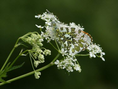 Orange-tip nature,Animalia,Arthropoda,Insecta,Lepidoptera,butterfly,butterflies,insect,insects,invertebrate,invertebrates,camouflage,cow parsley,orange tip,anthocharis cardamines,pieridae,pierid,Orange-tip,Antho