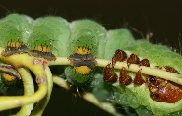 African moon moth caterpillar macro,nature,insect,Animalia,Arthropoda,Insecta,Lepidoptera,caterpillar,caterpillars,larvae,larval,larva,insects,invertebrate,invertebrates,saturniid,saturniidae,prolegs,African moon moth,argema mimos