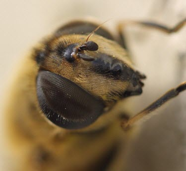 Close up of a hoverfly macro,eye,nature,insect,hoverfly,fly,close up,portrait,eyes,vision,Hoverfly
