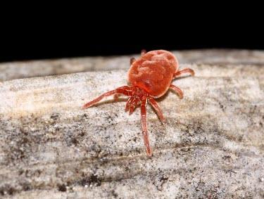 Red Spider Mite red,macro,nature,spider,arachnid,arachnida,mite,red spider mite,mites,Balaustium murorum,Red Spider Mite,RAW,Mite