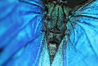 Ulysses butterfly papilio ulysses,papilio ulysses joesa,blue mountain swallowtail,swallowtail,mountain blue,ulysses,Animalia,Arthropoda,Insecta,Lepidoptera,butterfly,butterflies,insect,insects,invertebrate,invertebrate