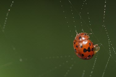24-spot ladybird caught in a spider web macro,nature,insect,web,beetle,ladybird,ladybug,Subcoccinella vigintiquatuorpunctata,24-spotted ladybird,twenty-four spotted ladybird,24-spot ladybird,twenty-four spot ladybird,insects,invertebrate,in