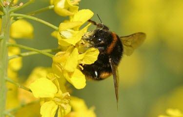 Buff-tailed bumblebee Animalia,Arthropoda,Insecta,Hymenoptera,Apoidae,Bombus,bumblebee,bee,bees,bumblebees,insect,insects,invertebrate,invertebrates,nectar,flower,flowers,pollen,pollinator,striped,stripy,Buff-tailed bumble