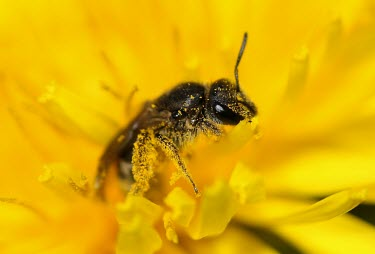 A bee covered in pollen flower,macro,nature,insect,dandelion,bee,pollen,honey bee,mite,Varroa destructor,Varroa mite,pollinating,Animalia,Arthropoda,Insecta,Hymenoptera,Apoidae,Bombus,bumblebee,bees,bumblebees,insects,invert