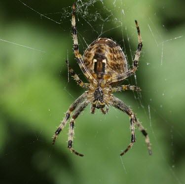 Garden spider macro,nature,spider,web,arachnid,arachnida,Garden spider,Araneus diadematus,Araneidae,Orb Weavers,Arthropoda,Arthropods,Araneae,Spiders,Arachnida,Arachnids,Europe,Agricultural,Terrestrial,Common,Tempe