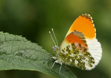 Orange-tip butterfly macro,nature,Animalia,Arthropoda,Insecta,Lepidoptera,butterfly,butterflies,insect,insects,invertebrate,invertebrates,orange tip,anthocharis cardamines,pieridae,pierid,Orange-tip,Anthocharis cardamines