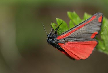 Cinnabar moth macro,nature,insect,Animalia,Arthropoda,Insecta,Lepidoptera,insects,invertebrate,invertebrates,moth,moths,cinnabar,tyria jacobaeae,Cinnabar moth,Tyria jacobaeae,Insects,Arthropods,Tiger Moths,Arctiida