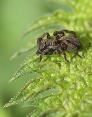 A spider poised on a leaf macro,Animalia,Arthropoda,Chelicerata,Arachnida,Araneae,spider,spiders,invertebrate,invertebrates,arachnid,arachnids,close up,leaf,Spider,RAW