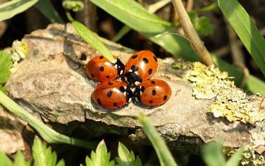 Seven-spot ladybird convention macro,nature,Animalia,Arthropoda,Insecta,Lepidoptera,butterfly,butterflies,insect,insects,invertebrate,invertebrates,nymphalidae,dark green fritillary,argynnis aglaja,nymphalid,Dark green fritillary,A