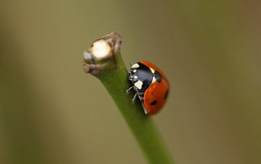 Seven-spot ladybird macro,nature,insect,beetle,ladybird,ladybug,mating,harlequin,pairing,insects,invertebrate,invertebrates,red,spots,spotty,spotted,pattern,beetles,Harlequin ladybird,Harmonia axyridis