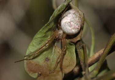 A species of crab spider macro,nature,spider,arachnid,arachnida,crab spider,close up,abdomen,Spider
