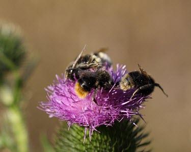 Red-tailed bumblebee Animalia,Arthropoda,Insecta,Hymenoptera,Apoidae,Bombus,Bombus lapidarius,red-tailed bumblebee,bee,bees,bumblebees,insect,insects,invertebrate,invertebrates,nectar,flower,flowers,pollen,pollinator,stri