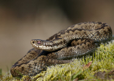 Adder Adder,Vipera berus,viper,snake,reptile,poisonous,venomous,snakes,reptiles,scales,scaly,reptilia,terrestrial,cold blooded,close up,shallow focus,coiled,Reptilia,Reptiles,Squamata,Lizards and Snakes,Vip