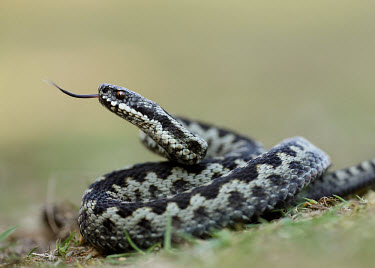 Coilled adder flicking its tongue Adder,Vipera berus,viper,snake,reptile,poisonous,venomous,snakes,reptiles,scales,scaly,reptilia,terrestrial,cold blooded,close up,shallow focus,Reptilia,Reptiles,Squamata,Lizards and Snakes,Viperidae,