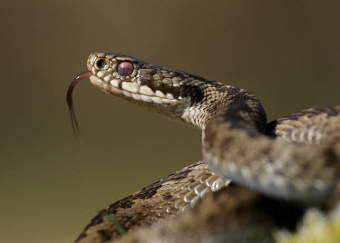 Coilled adder flicking its tongue Adder,Vipera berus,viper,snake,reptile,poisonous,venomous,snakes,reptiles,scales,scaly,reptilia,terrestrial,cold blooded,close up,shallow focus,coiled,tongue,forked tongue,Reptilia,Reptiles,Squamata,L
