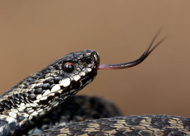 Adder Adder,Vipera berus,viper,snake,reptile,poisonous,venomous,snakes,reptiles,scales,scaly,reptilia,terrestrial,cold blooded,close up,shallow focus,coiled,tongue,forked tongue,Reptilia,Reptiles,Squamata,L
