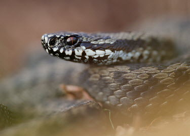 Adder Adder,Vipera berus,viper,snake,reptile,poisonous,venomous,snakes,reptiles,scales,scaly,reptilia,terrestrial,cold blooded,close up,shallow focus,Reptilia,Reptiles,Squamata,Lizards and Snakes,Viperidae,