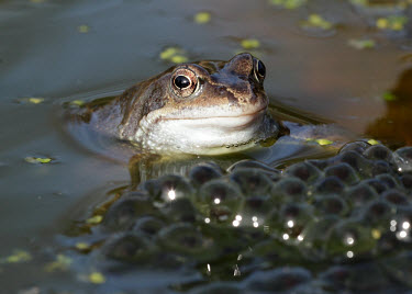 Common frog next to its spawn macro,close up,Common Frog,Rana temporaria,frog,frogs,amphibian,amphibians,water,spawn,young,brood,eggs,pond,Common frog,Anura,Frogs and Toads,Amphibians,Amphibia,Ranidae,Ranids,Chordates,Chordata,Ran