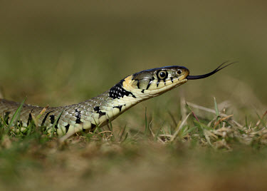 Grass snake Grass Snake,Natrix natrix,snake,reptile,pond life,water snake,snakes,reptiles,scales,scaly,reptilia,terrestrial,cold blooded,macro,close up,shallow focus,forked tongue,tongue,Grass snake,Reptilia,Rept