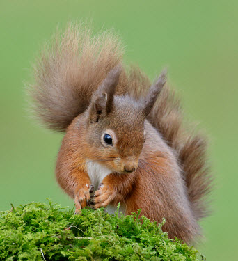 Red squirrel blur,selective focus,blurry,depth of field,Shallow focus,blurred,soft focus,forests,Forest,coloration,Colouration,Terrestrial,ground,environment,ecosystem,Habitat,Green background,rouge,Red,scarlet,cr