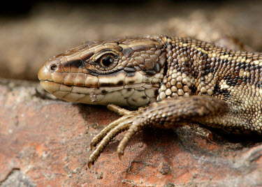 Viviparous lizard Common Lizard,Zootoca vivipara,reptile,lizard,lizards,reptiles,scales,scaly,reptilia,terrestrial,cold blooded,close up,macro,claws,Viviparous lizard,Chordates,Chordata,Squamata,Lizards and Snakes,Rept