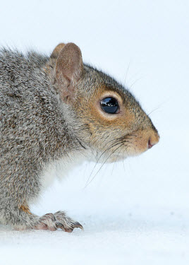 Grey squirrel Grey Squirrel,mammal,rodent,omnivore,squirrel,snow,white,white background,winter,cold,frozen,foraging,forage,gray squirrel,Sciurus carolinensis,Grey squirrel,Rodents,Rodentia,Squirrels, Chipmunks, Mar
