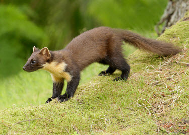 Pine marten forests,Forest,Arboreal,treelife,lives in tree,tree life,tree dweller,woodlands,wood land,Woodlot,Woodland,environment,ecosystem,Habitat,conifer forest,coniferous,Coniferous forest,Terrestrial,ground,