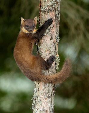 Pine marten macro,close up,Pine Marten,Martes martes,mammal,marten,carnivore,omnivore,weasel,Mustelidae,mustelid,Pine marten,Chordates,Chordata,Weasels, Badgers and Otters,Carnivores,Carnivora,Mammalia,Mammals,MA