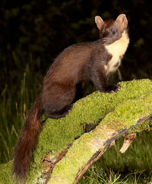 Pine marten forests,Forest,Arboreal,treelife,lives in tree,tree life,tree dweller,conifer forest,coniferous,Coniferous forest,environment,ecosystem,Habitat,woodlands,wood land,Woodlot,Woodland,Terrestrial,ground,