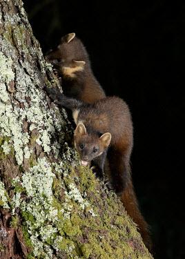 Pine marten macro,close up,Pine Marten,Martes martes,mammal,marten,carnivore,omnivore,weasel,Mustelidae,mustelid,pair,climbing,tree,arboreal,Pine marten,Chordates,Chordata,Weasels, Badgers and Otters,Carnivores,C