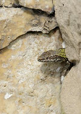 Common wall lizard macro,close up,Wall Lizard,Podarcis muralis,lizard,lizards,reptile,reptiles,scales,scaly,reptilia,terrestrial,cold blooded,stone,Common wall lizard,Lacertidae,Wall Lizards,Reptilia,Reptiles,Chordates,