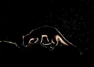 Pine marten macro,close up,Pine Marten,Martes martes,mammal,marten,carnivore,omnivore,weasel,Mustelidae,mustelid,night,nighttime,black,black background,silhouette,Pine marten,Chordates,Chordata,Weasels, Badgers a