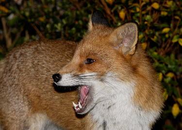 Red fox mammal,mammals,vertebrate,vertebrates,terrestrial,fur,furry,canidae,predator,scavenger,hunter,fox,foxes,Red fox,Vulpes vulpes,Chordates,Chordata,Mammalia,Mammals,Carnivores,Carnivora,Dog, Coyote, Wolf