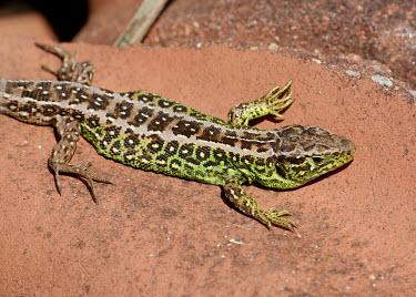 Sand lizard macro,close up,Sand Lizard,Lacerta agilis,lizard,lizards,reptile,reptiles,scales,scaly,reptilia,terrestrial,cold blooded,Sand lizard,Squamata,Lizards and Snakes,Reptilia,Reptiles,Lacertidae,Wall Lizar